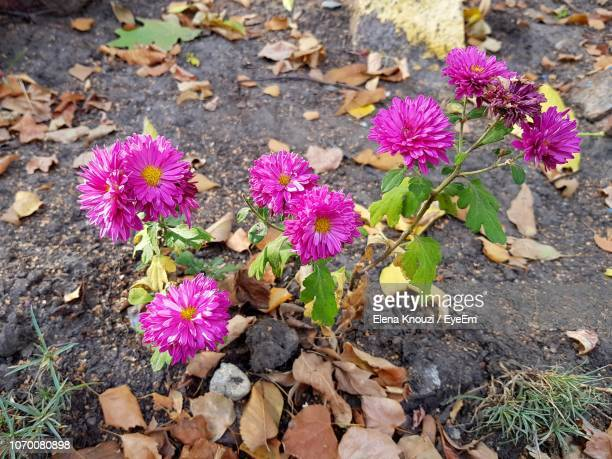 high angle view of purple flowering plants on land - elena knouzi stock pictures, royalty-free photos & images