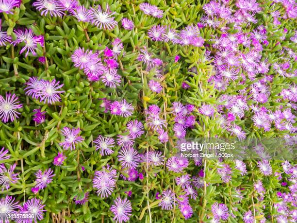 high angle view of purple flowering plants on field,mallorca,balearen,spain - norbert zingel stock-fotos und bilder
