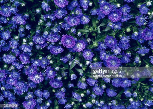 high angle view of purple flowering plants - flowering plant stock pictures, royalty-free photos & images