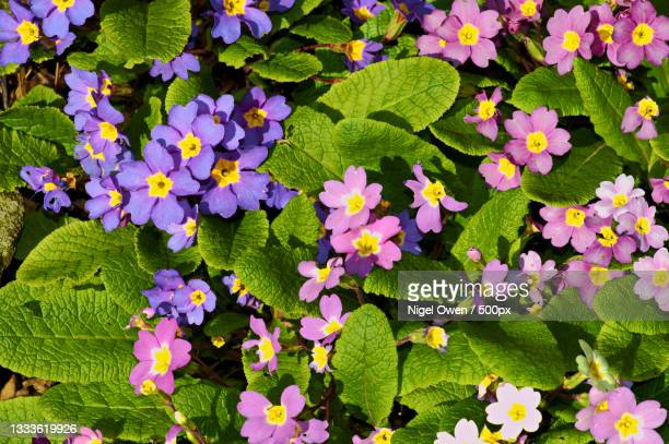 high angle view of purple flowering plants - nigel owen stock pictures, royalty-free photos & images