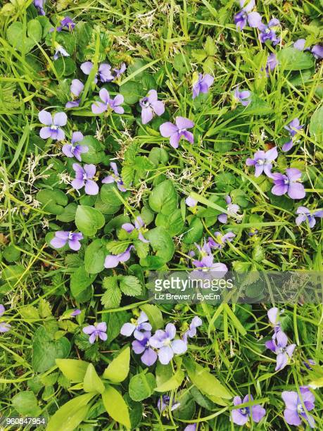 high angle view of purple flowering plants - liz brewer stock photos and pictures