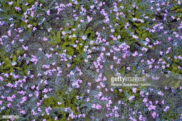 high angle view of purple flowering plants - adriana duduleanu stock photos and pictures