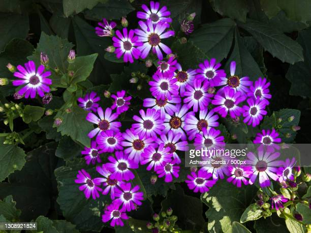 high angle view of purple flowering plants,chandigarh,india - chandigarh stock pictures, royalty-free photos & images
