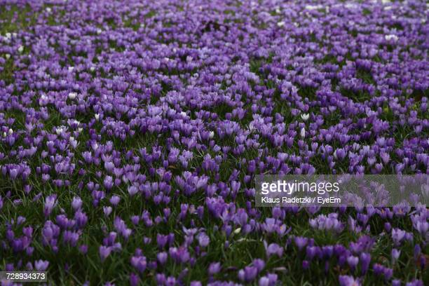 High Angle View Of Purple Flowers Growing On Field