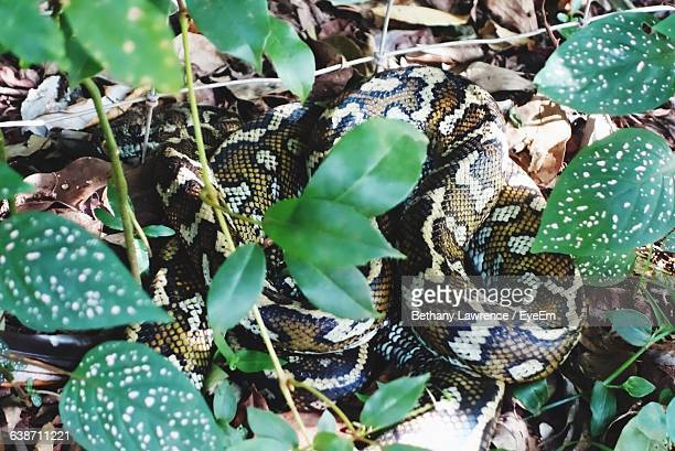 High Angle View Of Python In Forest