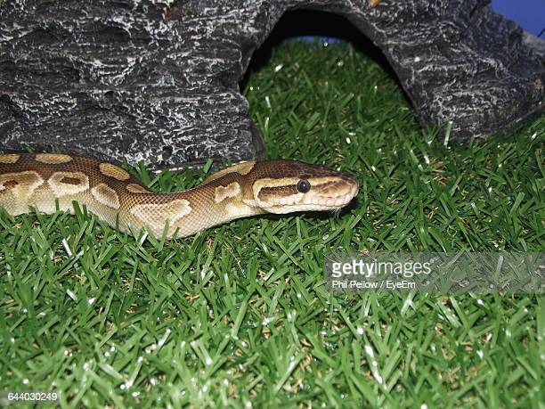 high angle view of python on grass - reptile pattern stock pictures, royalty-free photos & images