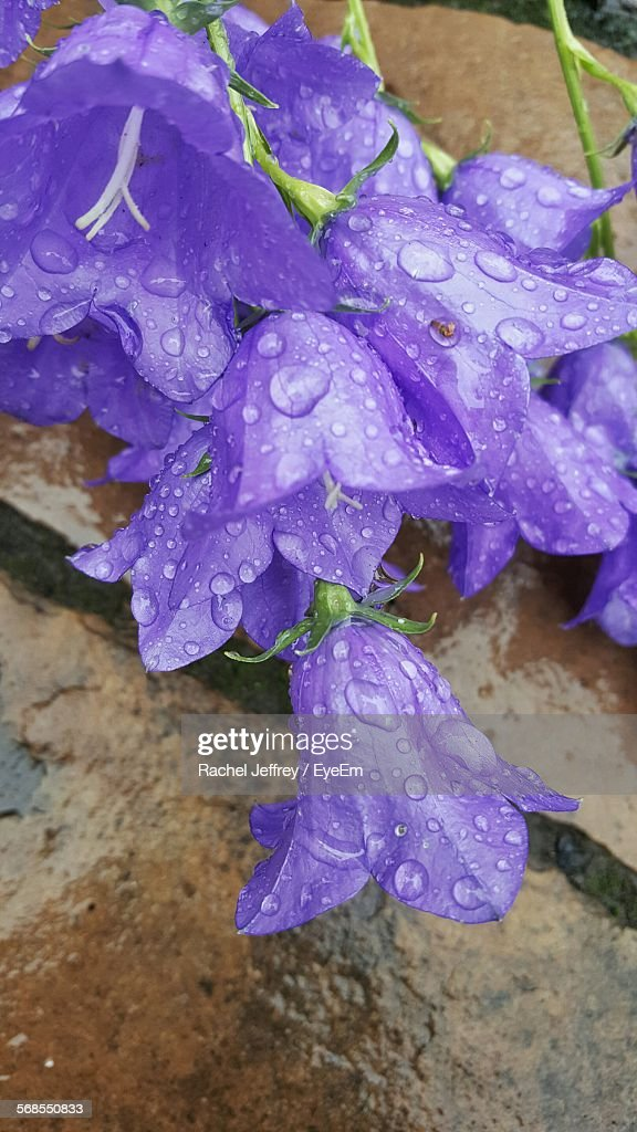 High Angle View Of Raindrops On Purple Flower : Stock Photo