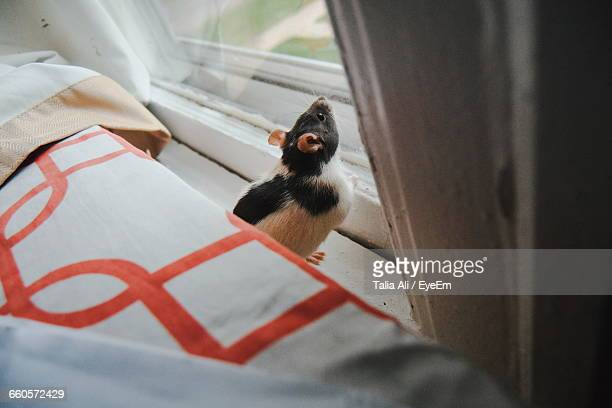 High Angle View Of Rat By Window
