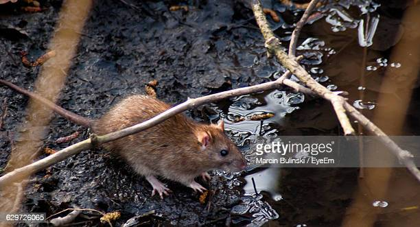 high angle view of rat on messy wet field - rat stock photos and pictures