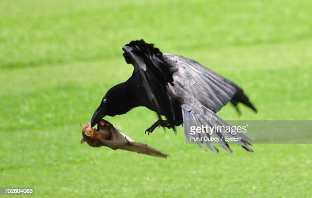 High Angle View Of Raven Hunting Bat Over Field