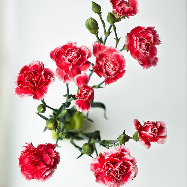 High Angle View Of Red Carnations Against White Background Wall Art