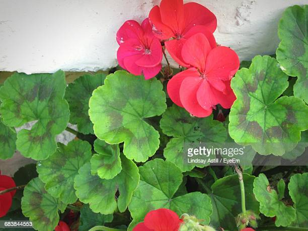 high angle view of red cranesbill flowers growing by wall - geranium stock pictures, royalty-free photos & images