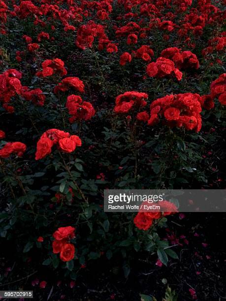 high angle view of red flowers blooming in garden - rachel wolfe stock photos and pictures