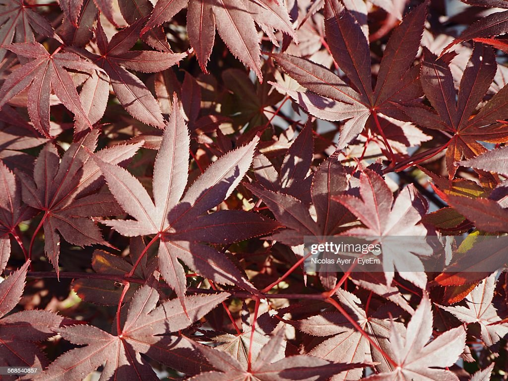 High Angle View Of Red Maple Leaves : Stock Photo
