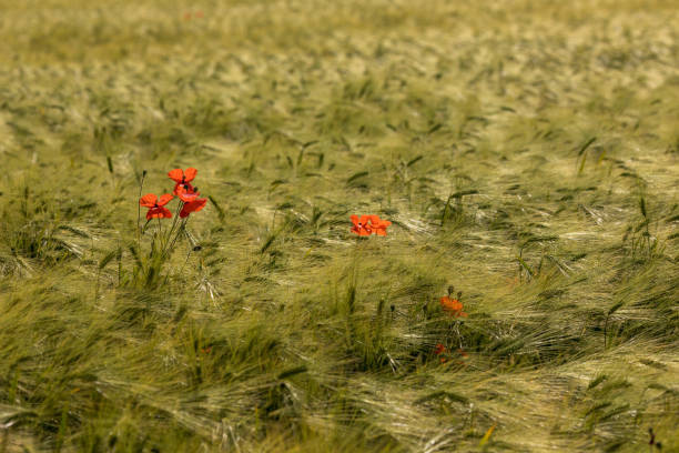 High angle view of red poppy flowers on field,Rheine,Germany