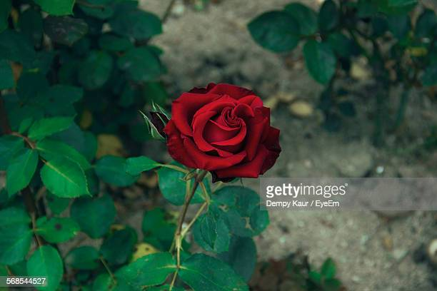 high angle view of red rose blooming in yard - red roses garden stock pictures, royalty-free photos & images