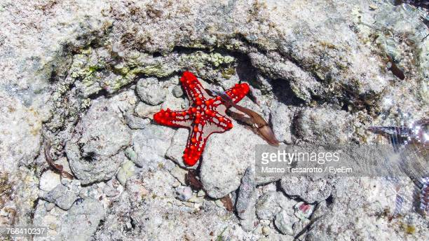 High Angle View Of Red Starfish On Rock