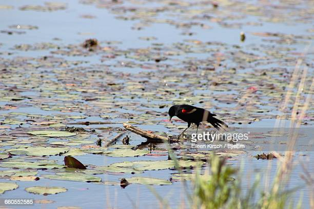 high angle view of red-winged blackbird in swamp at edwin b forsythe national wildlife refuge - eileen kirsch stock pictures, royalty-free photos & images