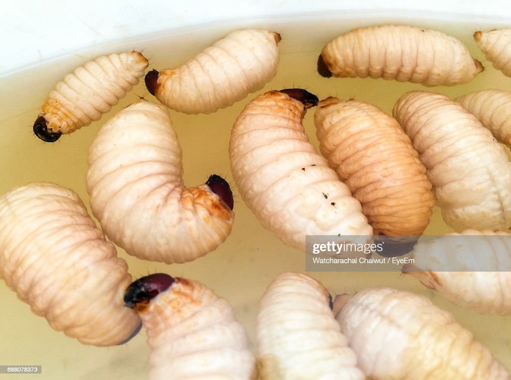 High Angle View Of Rhinoceros Beetle Larvae Floating In