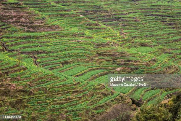 high angle view of rice field - massimo cavallari stock pictures, royalty-free photos & images