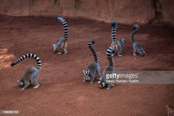 high angle view of ringtail lemurs at zoo - civet cat stock photos and pictures