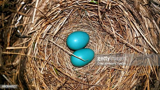 High Angle View Of Robin Eggs In Nest
