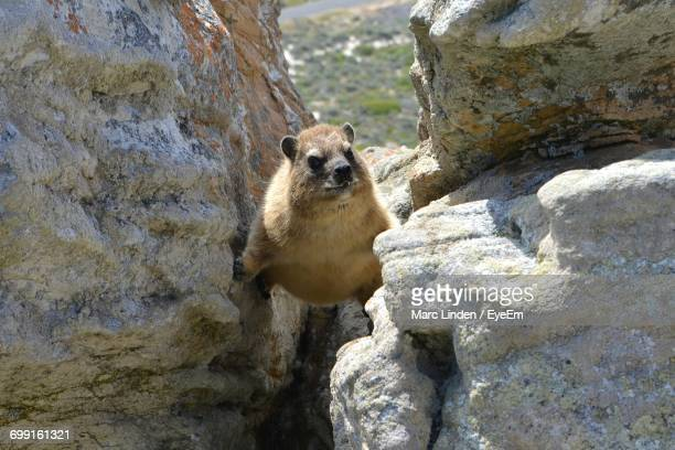 High Angle View Of Rock Hyrax Climbing On Rock