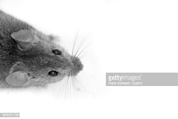 High Angle View Of Rodent On White Background
