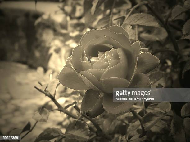 High Angle View Of Rose Blooming On Field