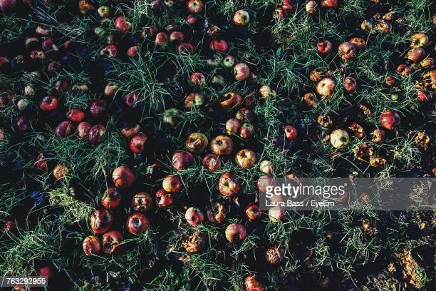 high angle view of rotten apples fallen on grass - rotting stock pictures, royalty-free photos & images