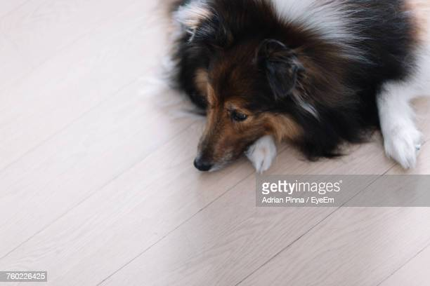 High Angle View Of Rough Collie Lying On Floor