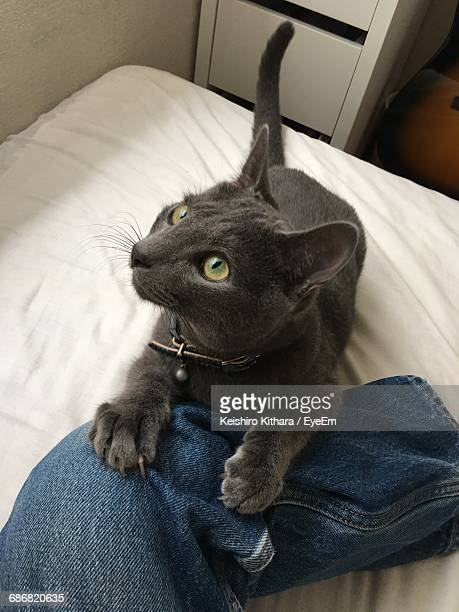 High Angle View Of Russian Blue Cat Sitting By Person On Bed