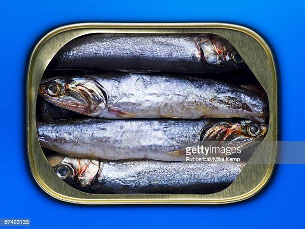 High angle view of sardines in a can