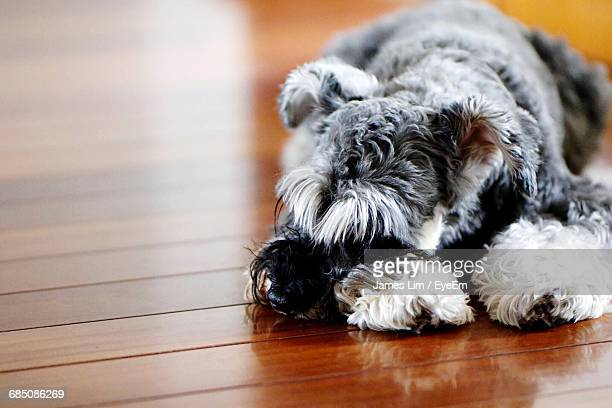 High Angle View Of Schnauzer Sleeping On Floorboard At Home