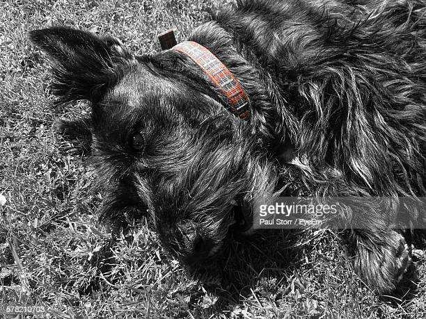 High Angle View Of Scottish Terrier Lying On Grassy Field