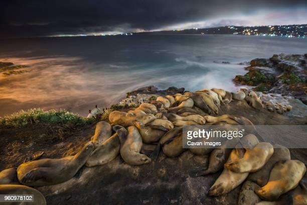 high angle view of sea lions sleeping on shore during night - säugetier stock-fotos und bilder
