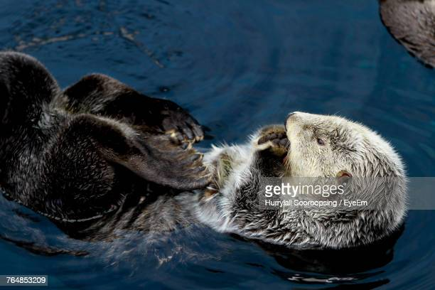 high angle view of sea otter swimming in lake - sea otter stock photos and pictures