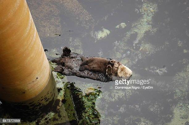 high angle view of sea otters floating on water at monterey bay aquarium - sea otter stock photos and pictures