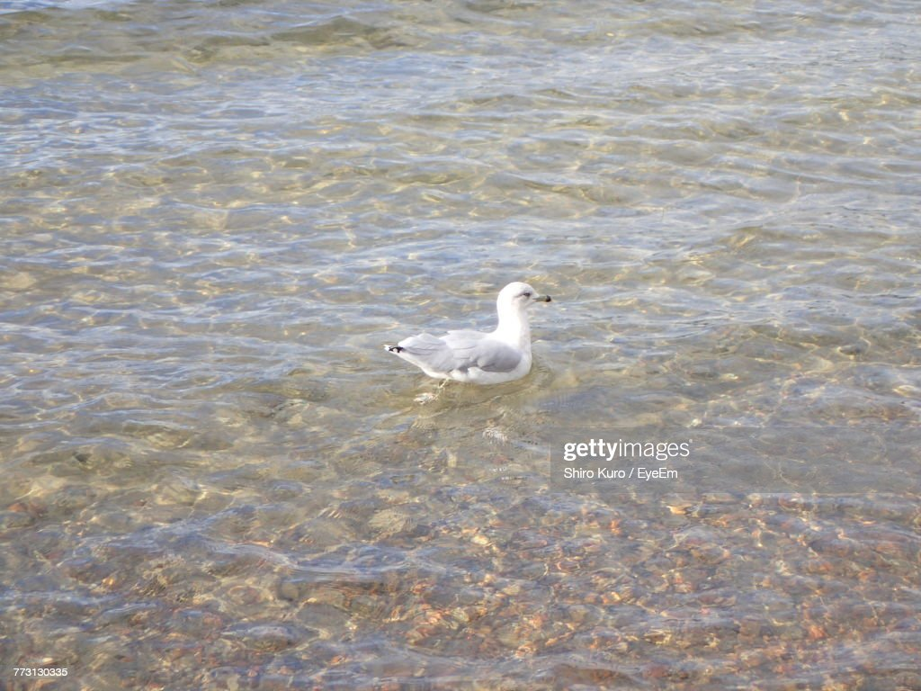 High Angle View Of Seagull Swimming In Lake : Photo
