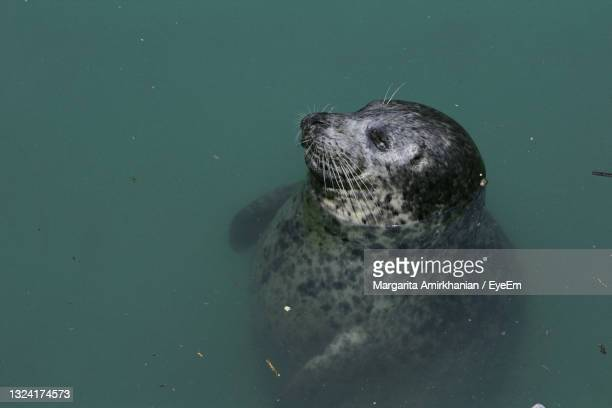 high angle view of seal in sea - north beach san francisco stock pictures, royalty-free photos & images