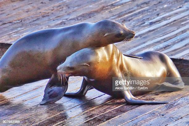 High Angle View Of Seal Lions On Boardwalk
