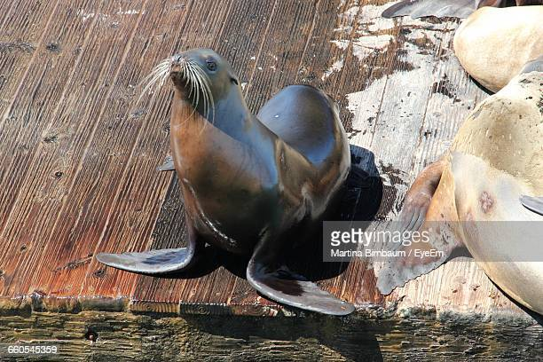 High Angle View Of Seal On Wet Pier