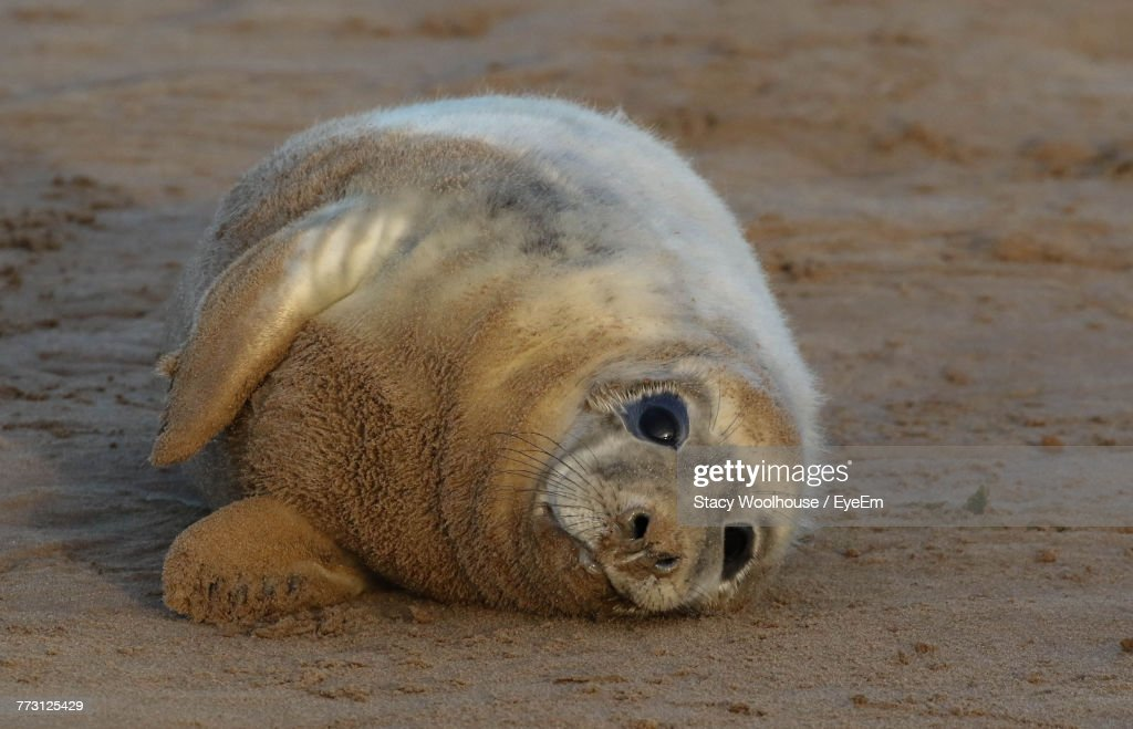 High Angle View Of Seal Relaxing On Sand At Beach : Photo