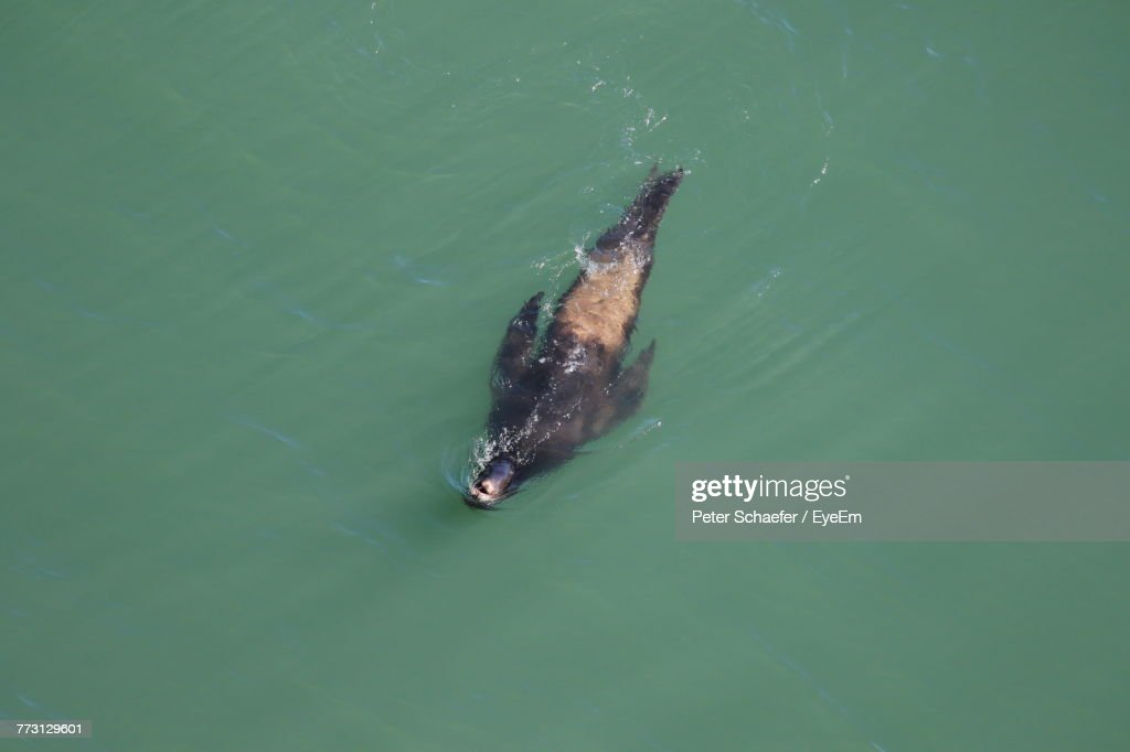 High Angle View Of Seal Swimming In Sea : Photo