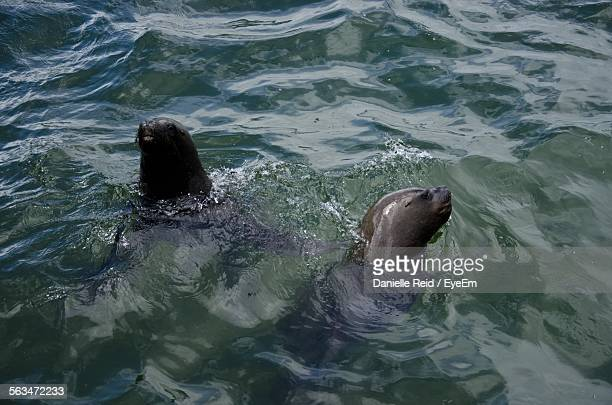 high angle view of seals in water - danielle reid stock pictures, royalty-free photos & images