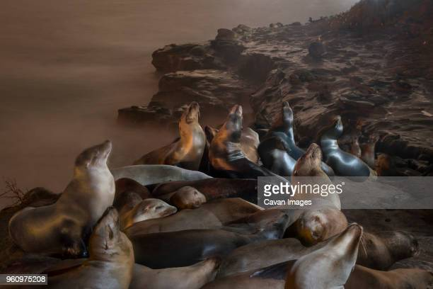 high angle view of seals relaxing on rock formation against sea - säugetier stock-fotos und bilder