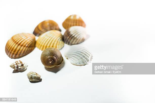 High Angle View Of Seashells Against White Background