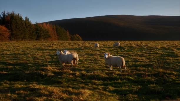 High angle view of sheep grazing on field