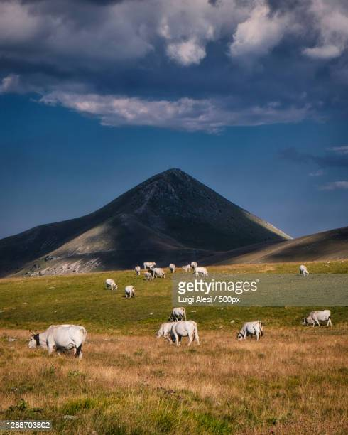 high angle view of sheep grazing on field,campo imperatore,italy - parco nazionale del gran sasso e monti della laga foto e immagini stock