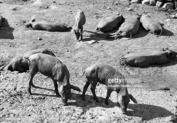high angle view of sheep on field,extremadura,spain - blanco y negro stock pictures, royalty-free photos & images
